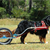 Dog Carting With the Mighty Bernese