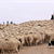 A Day in the Life of a Sheepherding Dog