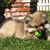 The Chihuahua: Man's Best Amigo?