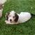 Petit Basset Griffon Vendeen: More Than a Cute Face