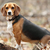 The Beagle: A Dog Breed for Hunters … and Kids