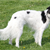 Meet the Silken Windhound: A Low-maintenance Beauty